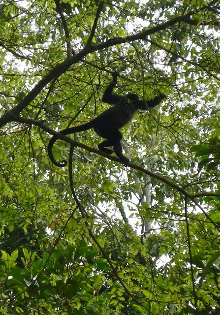Costa Rica Monkeys (1)