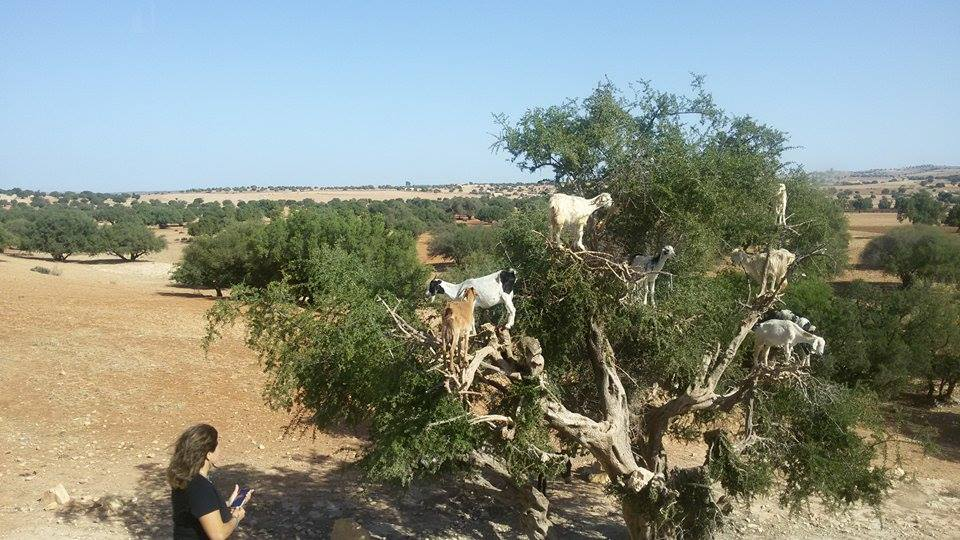 Thanks to my friend, Ritchie, for photographing the goats in trees. She joined me at another hotel the last day of my getaway and her bus driver stopped, unlike mine, to allow passengers to get shots of the goats in Argan trees.