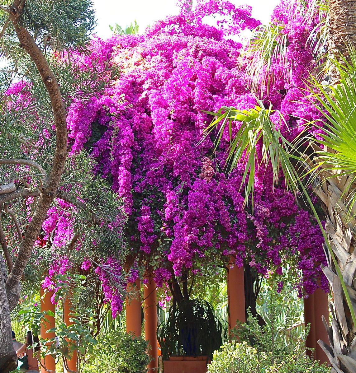 Jardin majorelle my backyard blooms southern girl gone for Jardin majorelle 2015